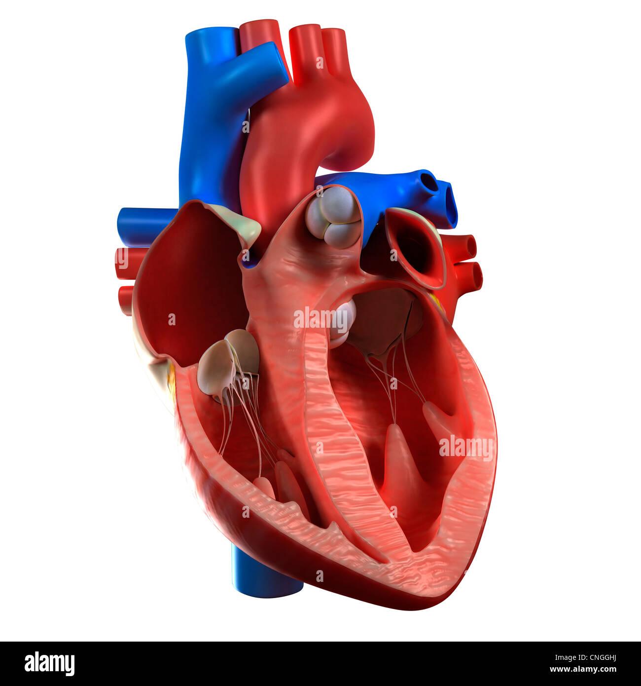 Heart anatomy  artwork - Stock Image