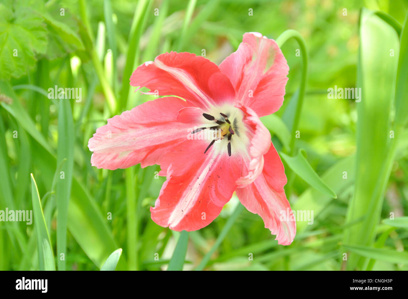 Flower of tulip at the end of maturity. - Stock Image