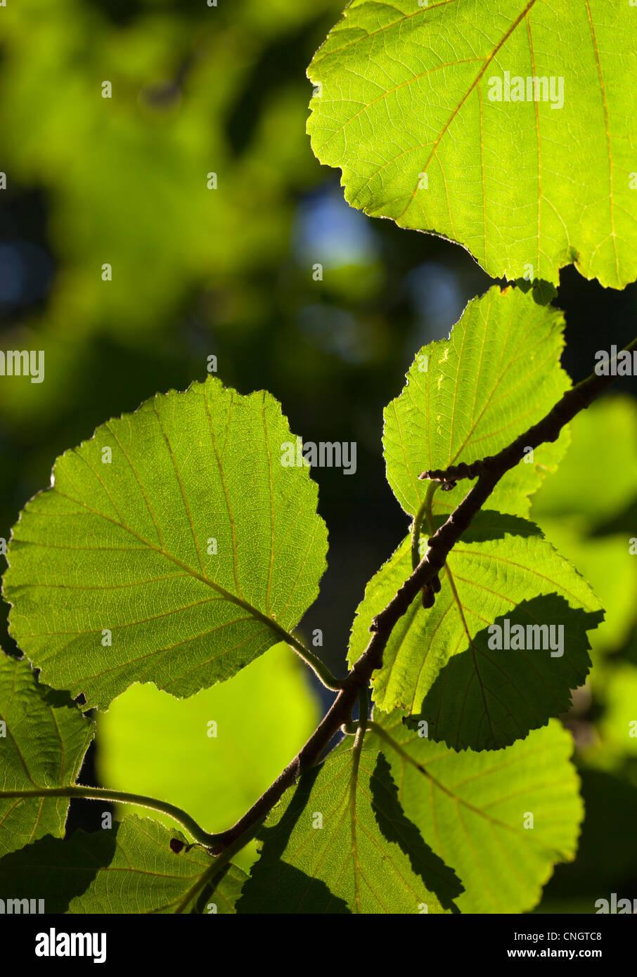 Manchurian alder Alnus Hirsuta , Betulaceae tree leaves - Stock Image