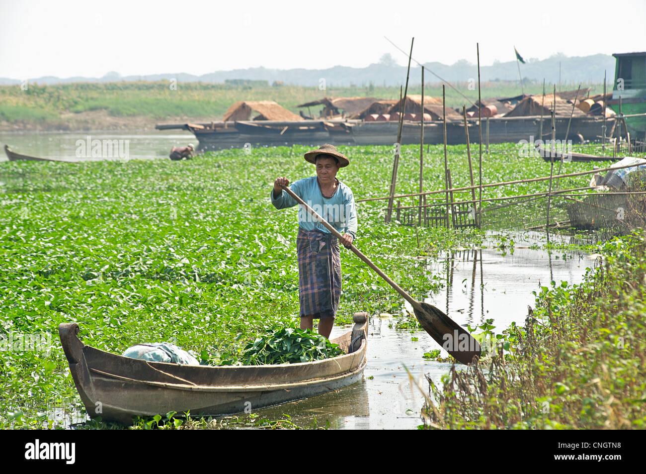 Burmese man standing rowing canoe and collecting aquatic plants, Ayeyarwady river between Mandalay and Sagaing, - Stock Image