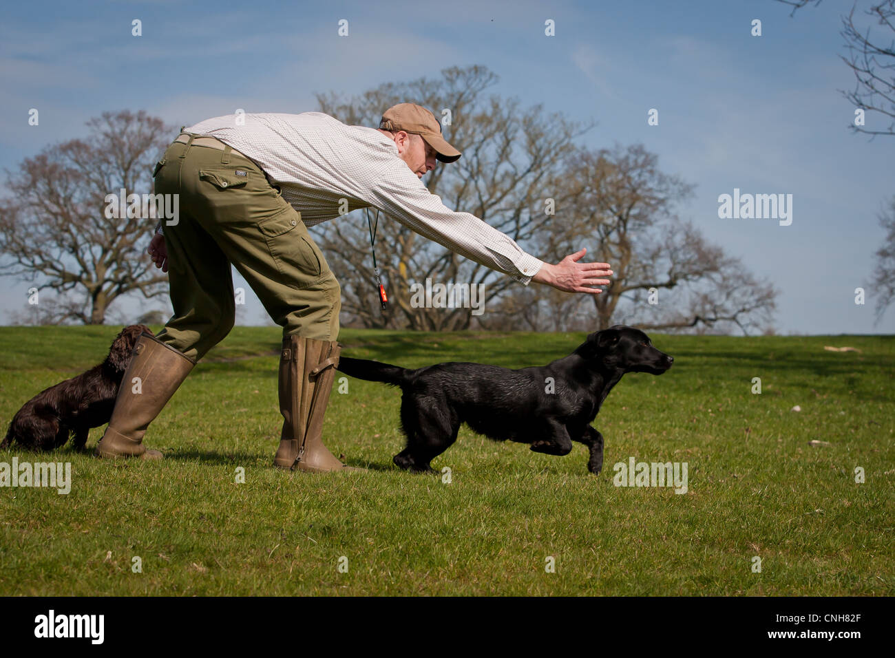 Gundog/ Dog Trainer with Black Labrador and Cocker Spaniel sending away in country setting during training session - Stock Image