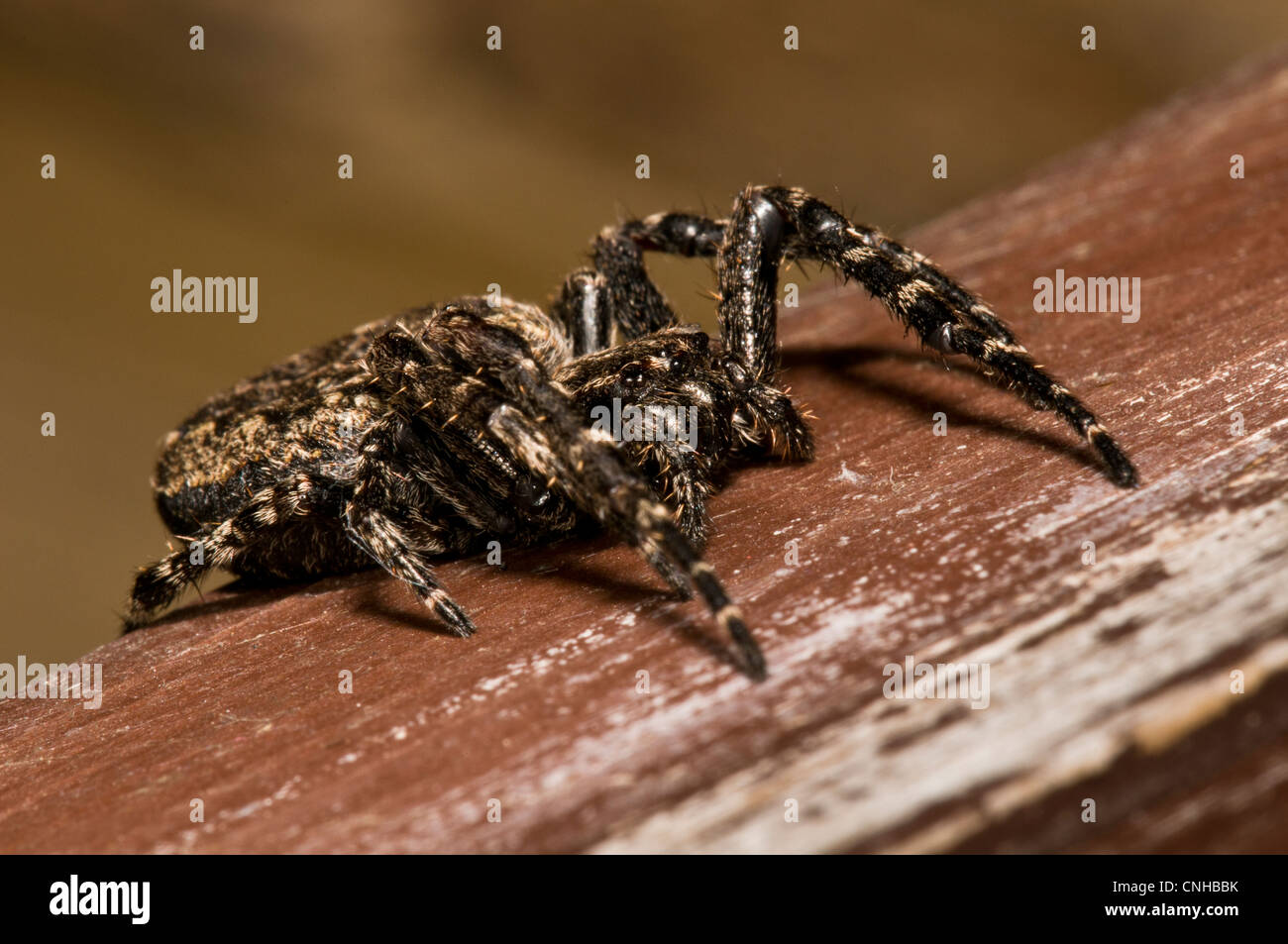 A female walnut orb weaver spider (Nuctenea umbratica) in a hide at RSPB Minsmere, Suffolk. April. - Stock Image