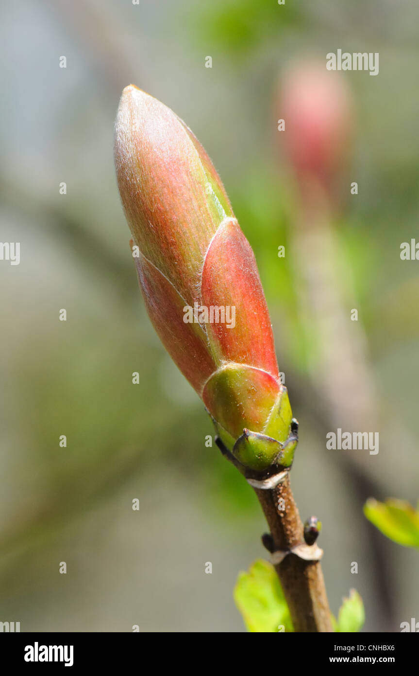 Unopened spring bud of Acer pseudoplatanus or British Sycamore - Stock Image