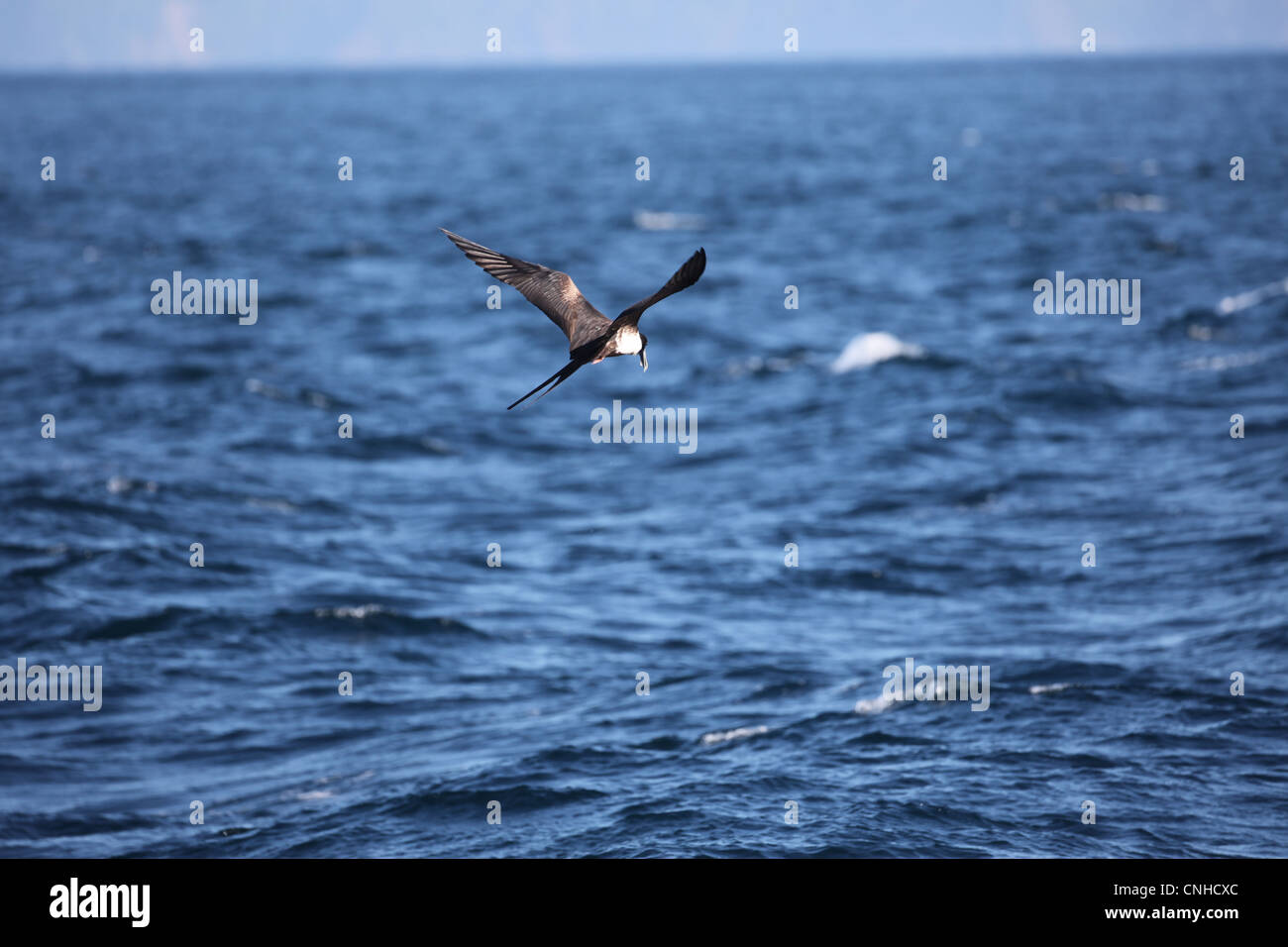 A Magnificent Frigatebird off the coast of Coiba, Panama. Stock Photo