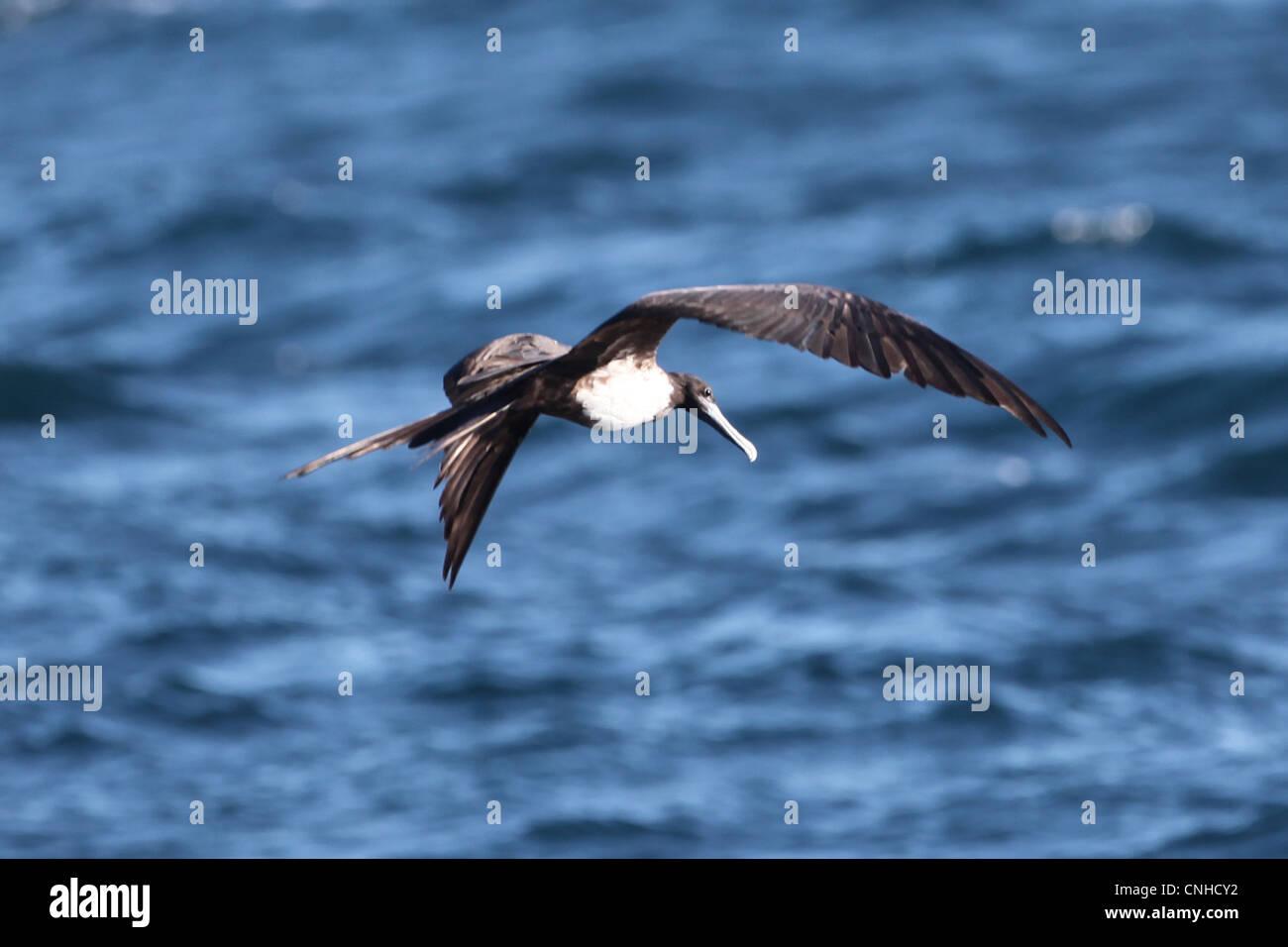 A Magnificent Frigatebird off the coast of Coiba, Panama. Stock Photo