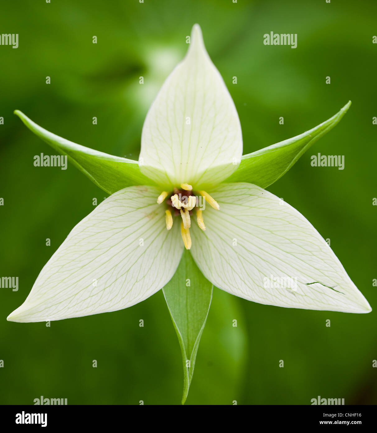 The Sweet White Trillium is one of the rarer forms of trillium.  It grows in the mountains in the states of Tennessee, - Stock Image