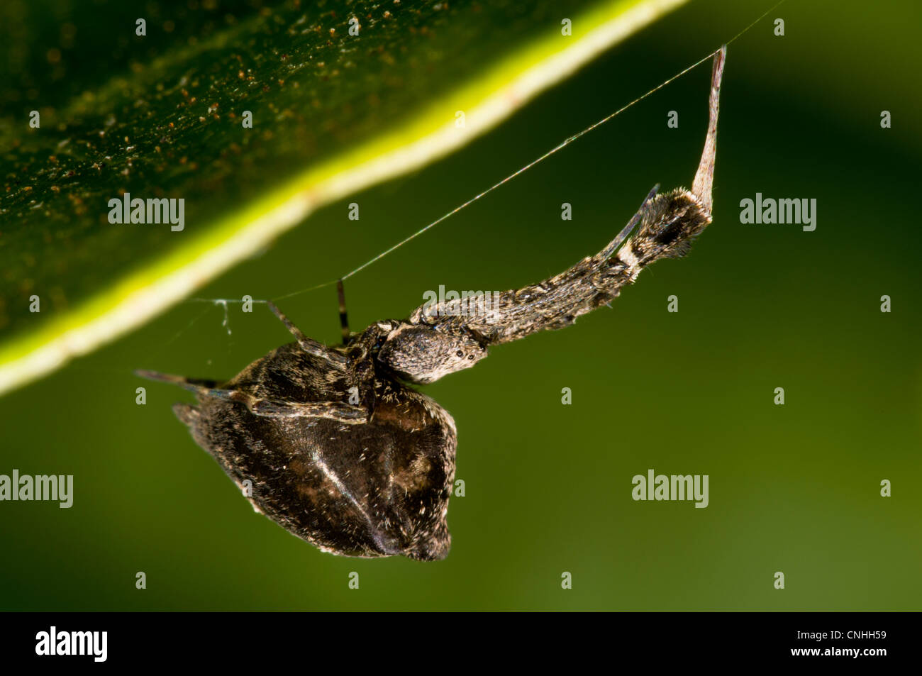 A feather-legged lace weaver, also known as the 'garden centre spider' (Uloborus plumipes) hanging upside - Stock Image