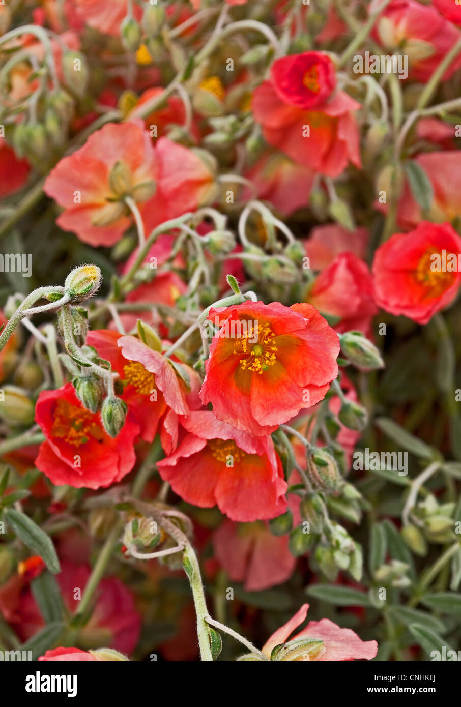 Apricot Colored Flowers Stock Photos & Apricot Colored Flowers Stock ...