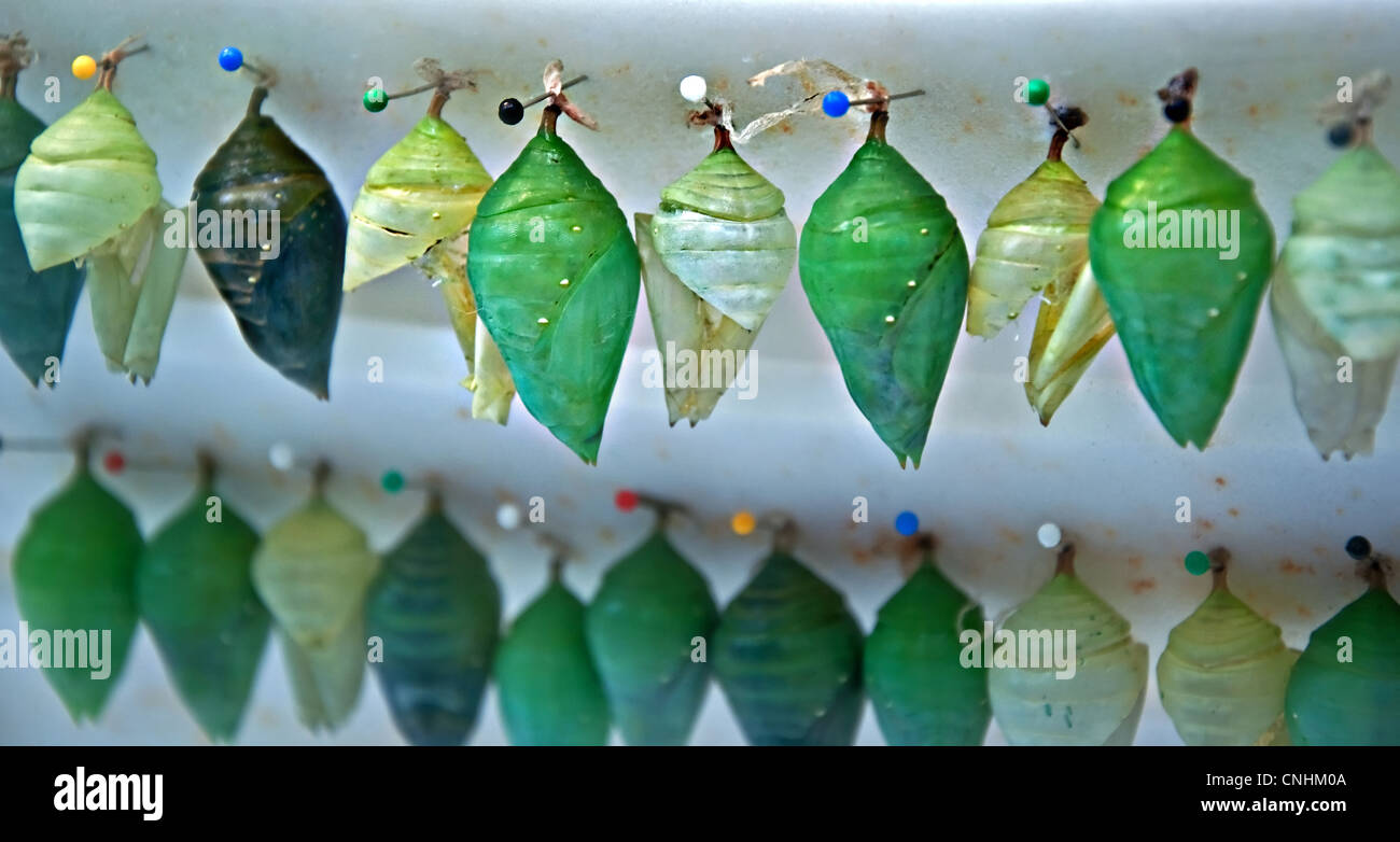 twos rows of various shades of green butterfly chrysalis or pupa stage of insect development. - Stock Image