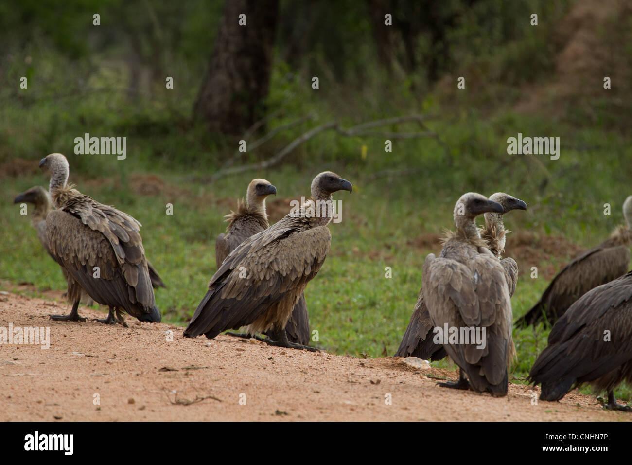 White-Backed Vultures (Gyps africanus) on the road in Lake Mburo National Park, Uganda - Stock Image