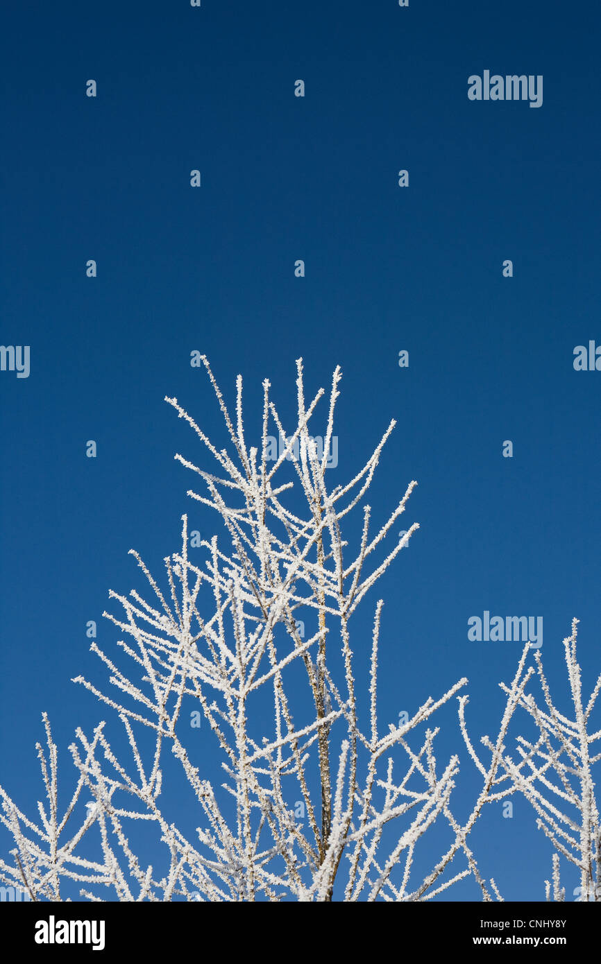 Hoar frost on branches - Stock Image