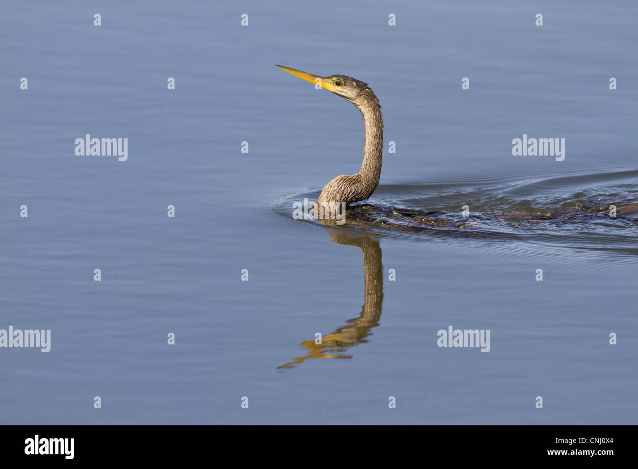 Anhinga (Anhinga anhinga) immature, swimming, Ding Darling Wildlife Refuge, Sanibel Island, Florida, U.S.A. - Stock Image
