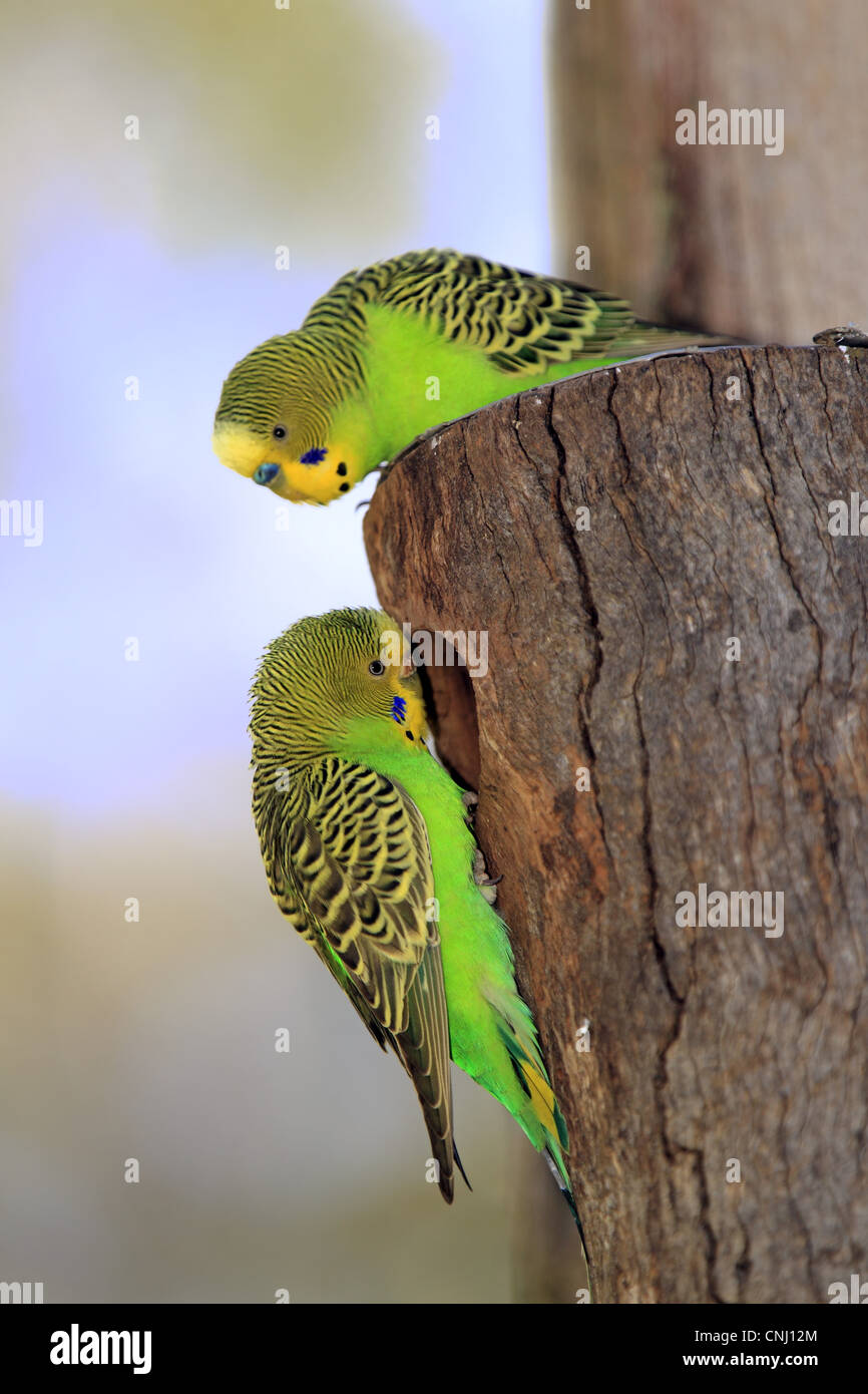 Budgerigar (Melopsittacus undulatus) adult pair, at nesthole entrance, Alice Springs, Northern Territory, Australia Stock Photo