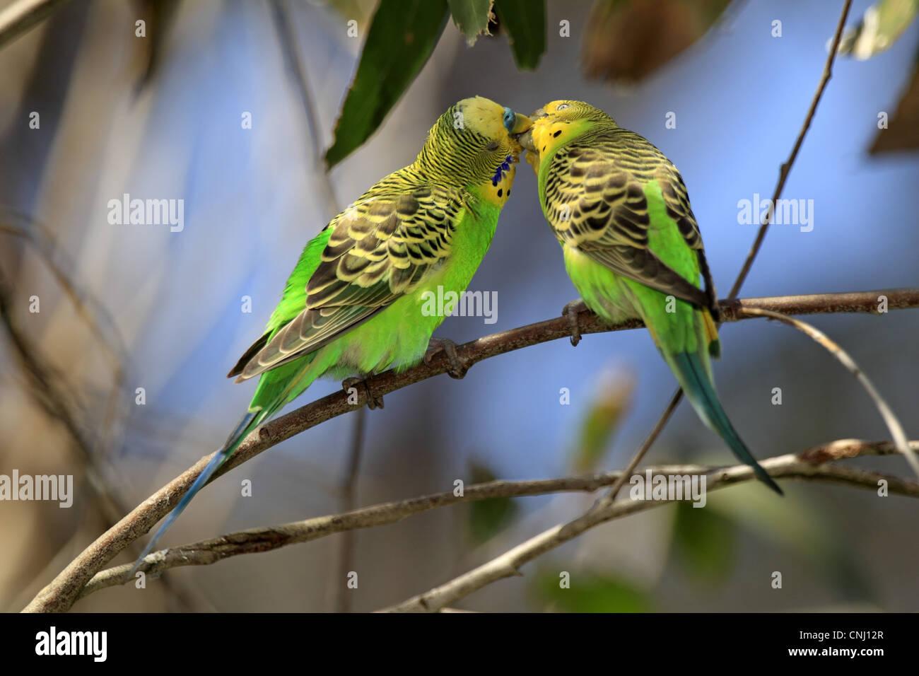 Budgerigar (Melopsittacus undulatus) adult pair, 'billing' courtship behaviour, Alice Springs, Northern Territory, Stock Photo