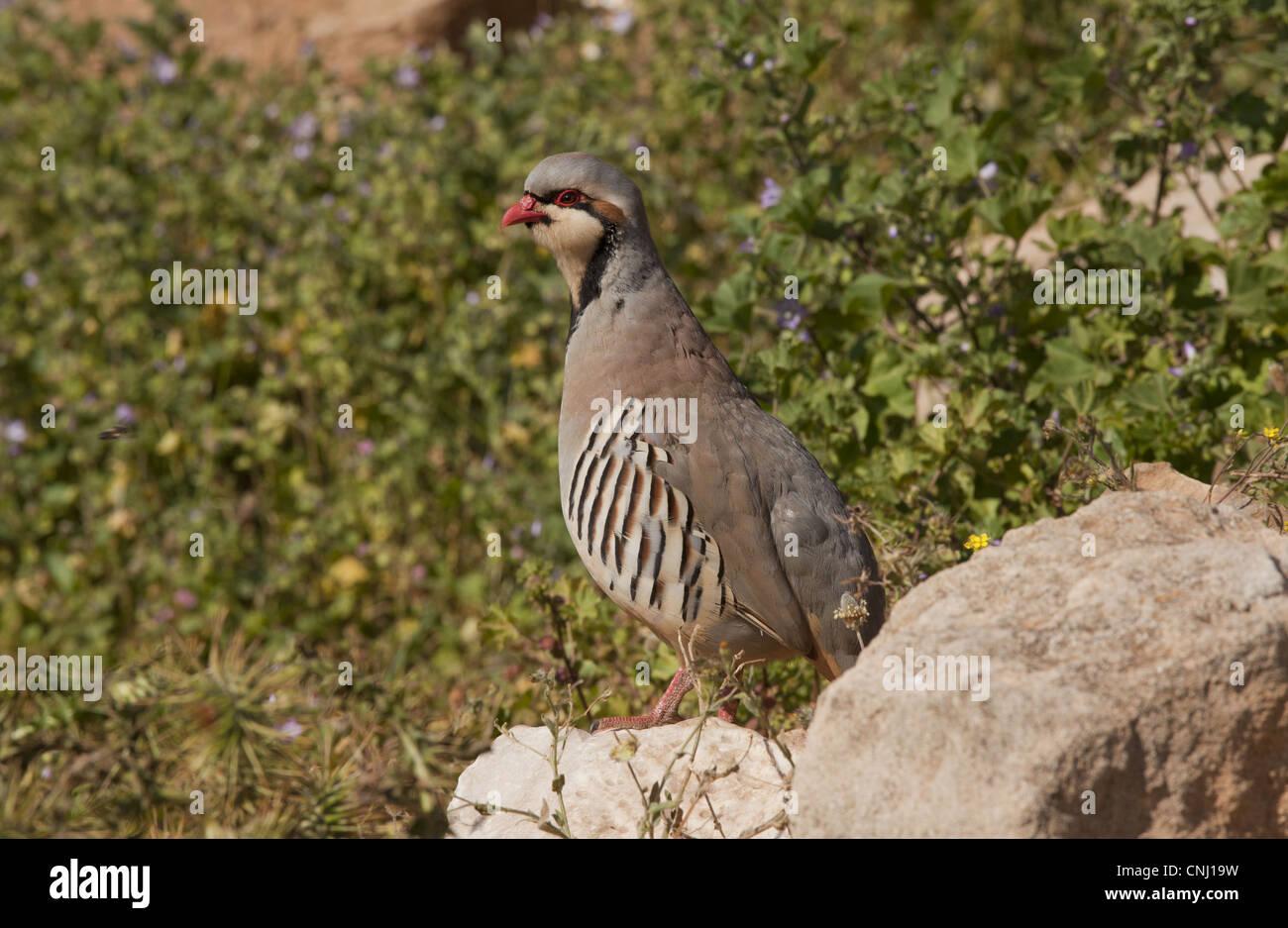 Chukar Partridge (Alectoris chukar) adult male, standing on