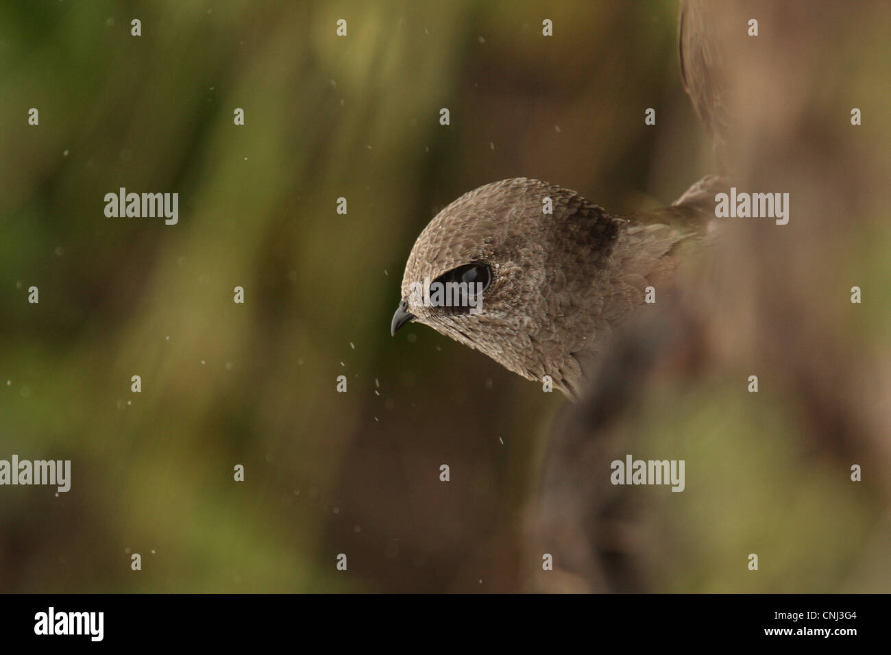 Great Dusky Swift Cypseloides senex adult looking out roost site beside waterfall Parque Nacional Iguazu Misiones - Stock Image
