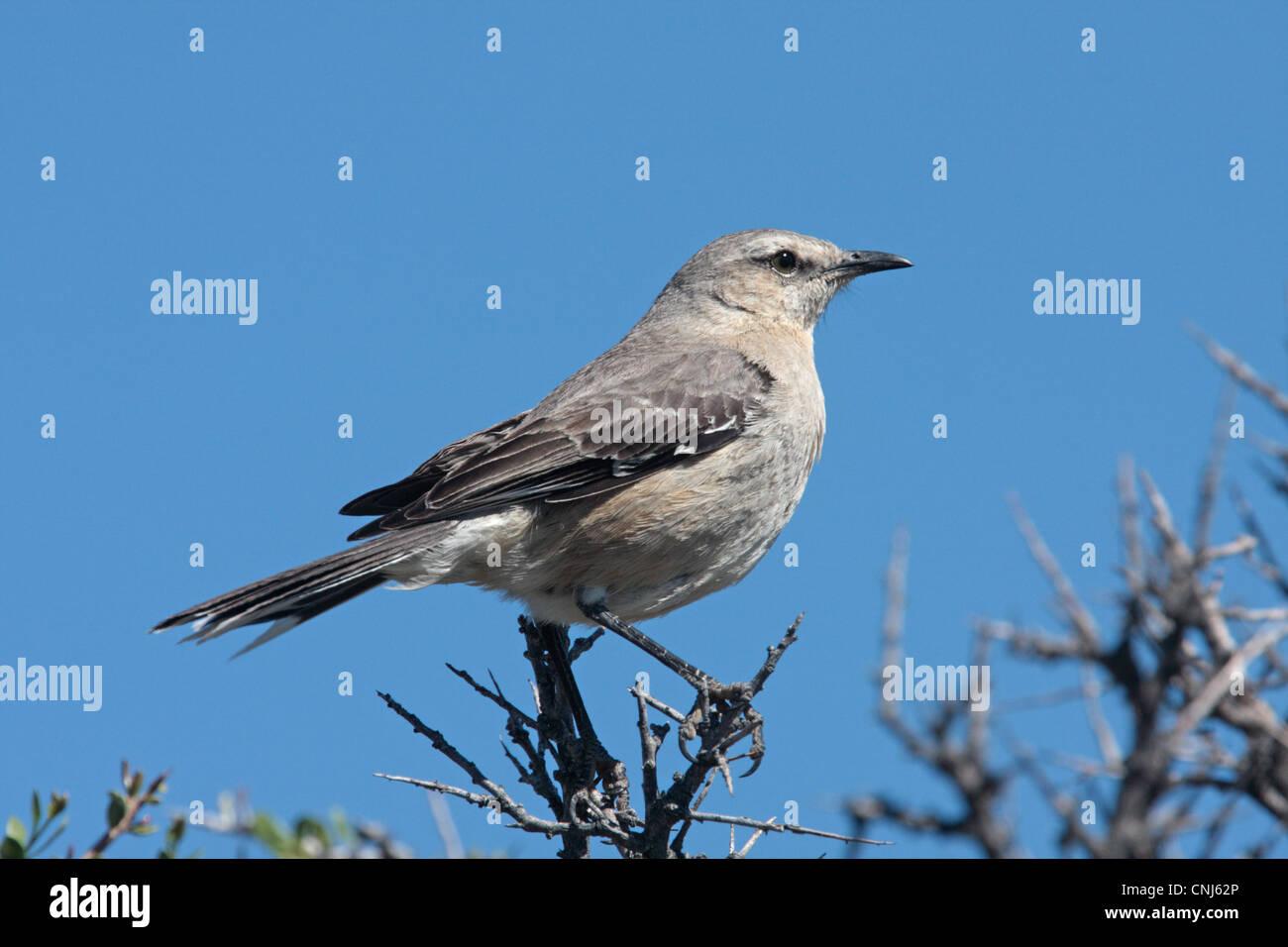 Patagonian Mockingbird Mimus Patagonicus Adult Perched On Twigs Rio Gallegos Santa