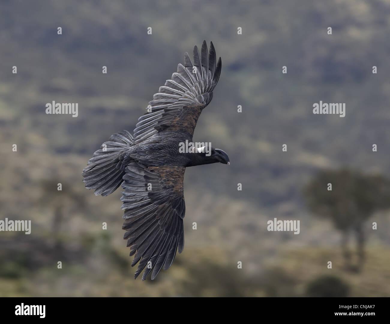Thick-billed Raven (Corvus crassirostris) adult, in flight, Simien Mountains, Ethiopia - Stock Image