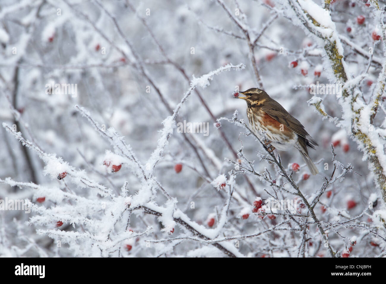 Redwing (Turdus iliacus) adult, feeding on hawthorn berries in hoar fost covered hedgerow, Shropshire, England, Stock Photo