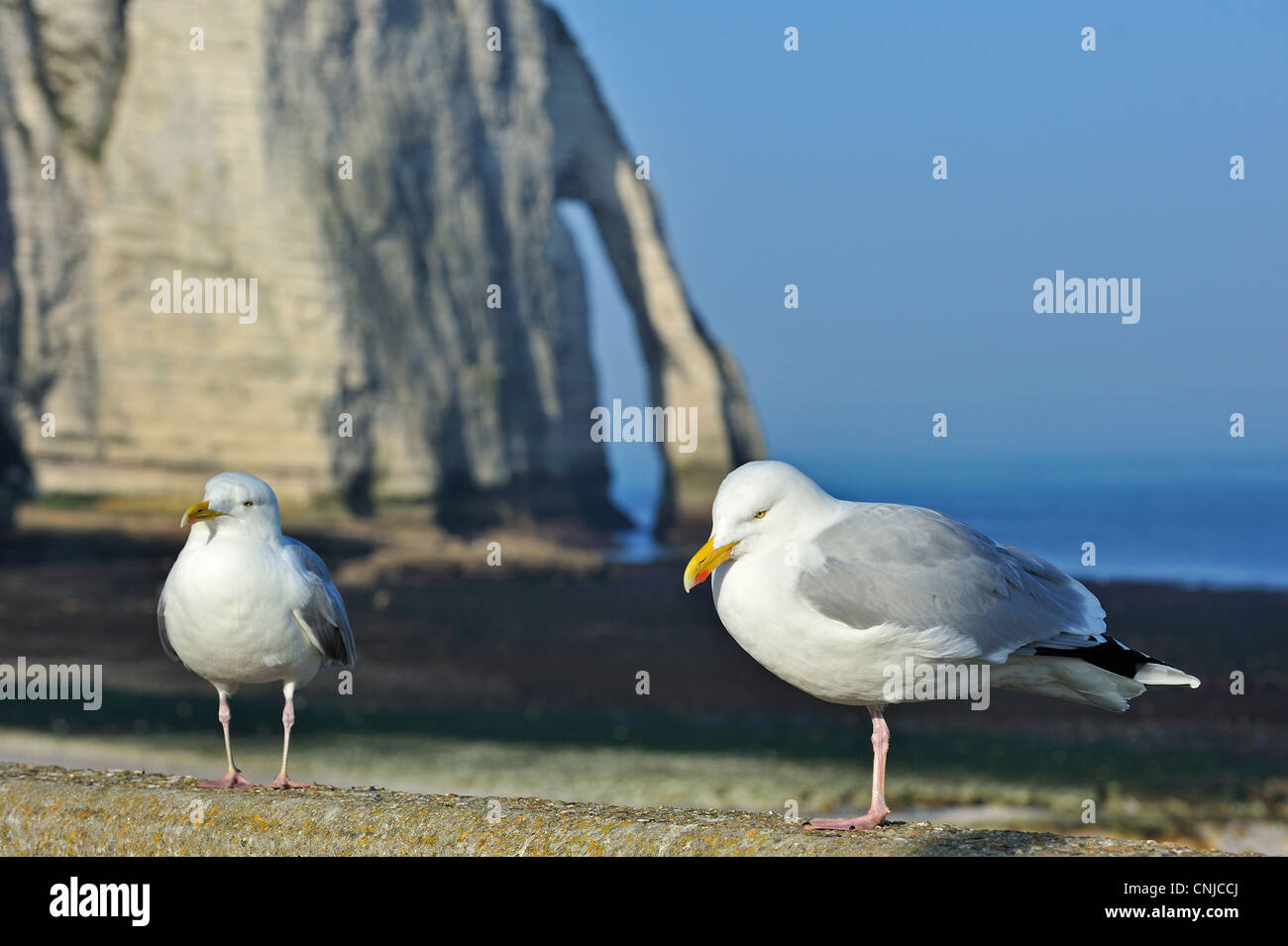 Two Herring gulls and the Porte D'Aval, a natural arch in the chalk cliffs at Etretat, Côte d'Albâtre, - Stock Image