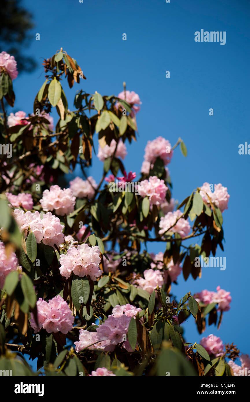 Rhododendron arboreum ssp cinnamomeum var cinnamomeum in flower - Stock Image