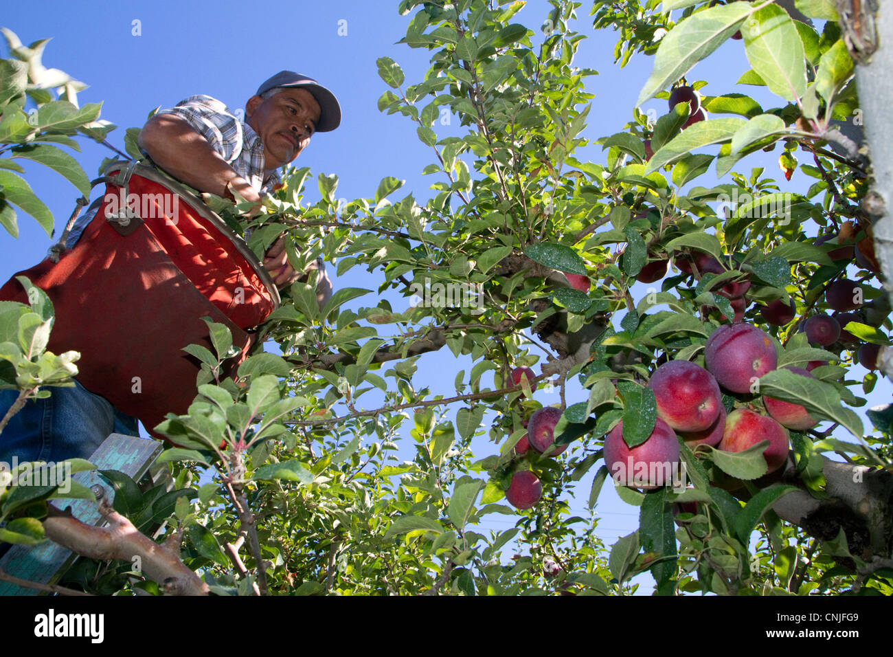 Migrant worker harvesting apples in Canyon County, Idaho, USA. - Stock Image