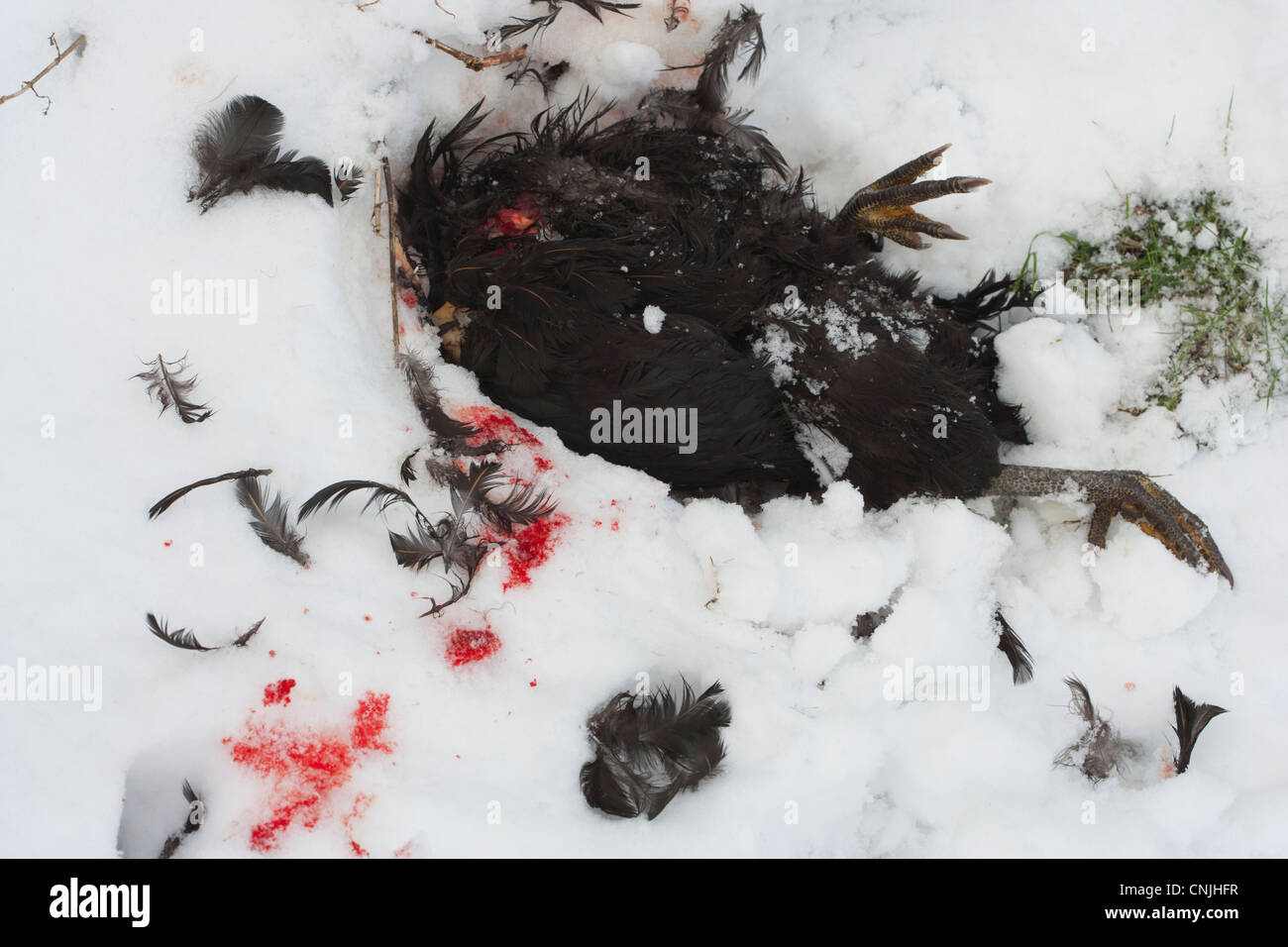 Dead chicken in the snow after being attacked by a fox - Stock Image