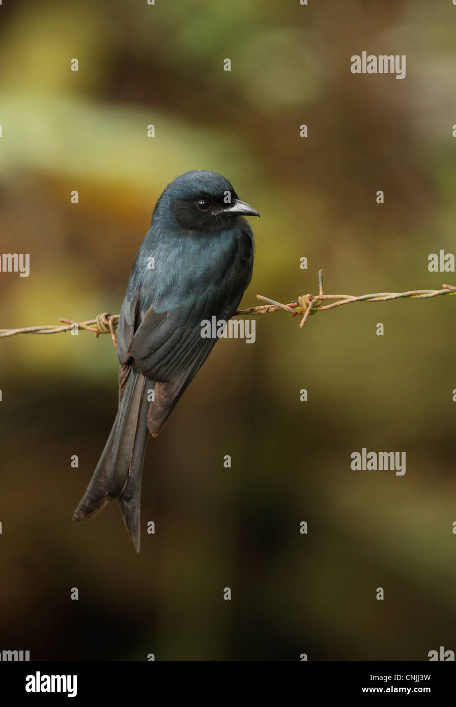 White-vented Drongo (Dicrurus caerulescens leucopygialis) endemic race, adult, perched on barbed wire, Sri Lanka,Stock Photo