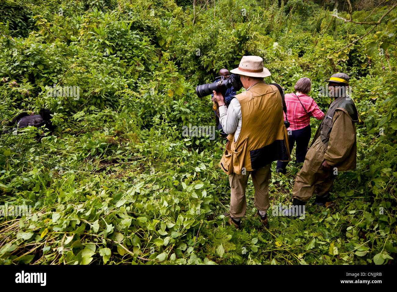 Africa, Rwanda, Gorilla trekkers photograph Mountain Gorillas of the Umubano Group at Volcanoes NP in the Virungas. - Stock Image