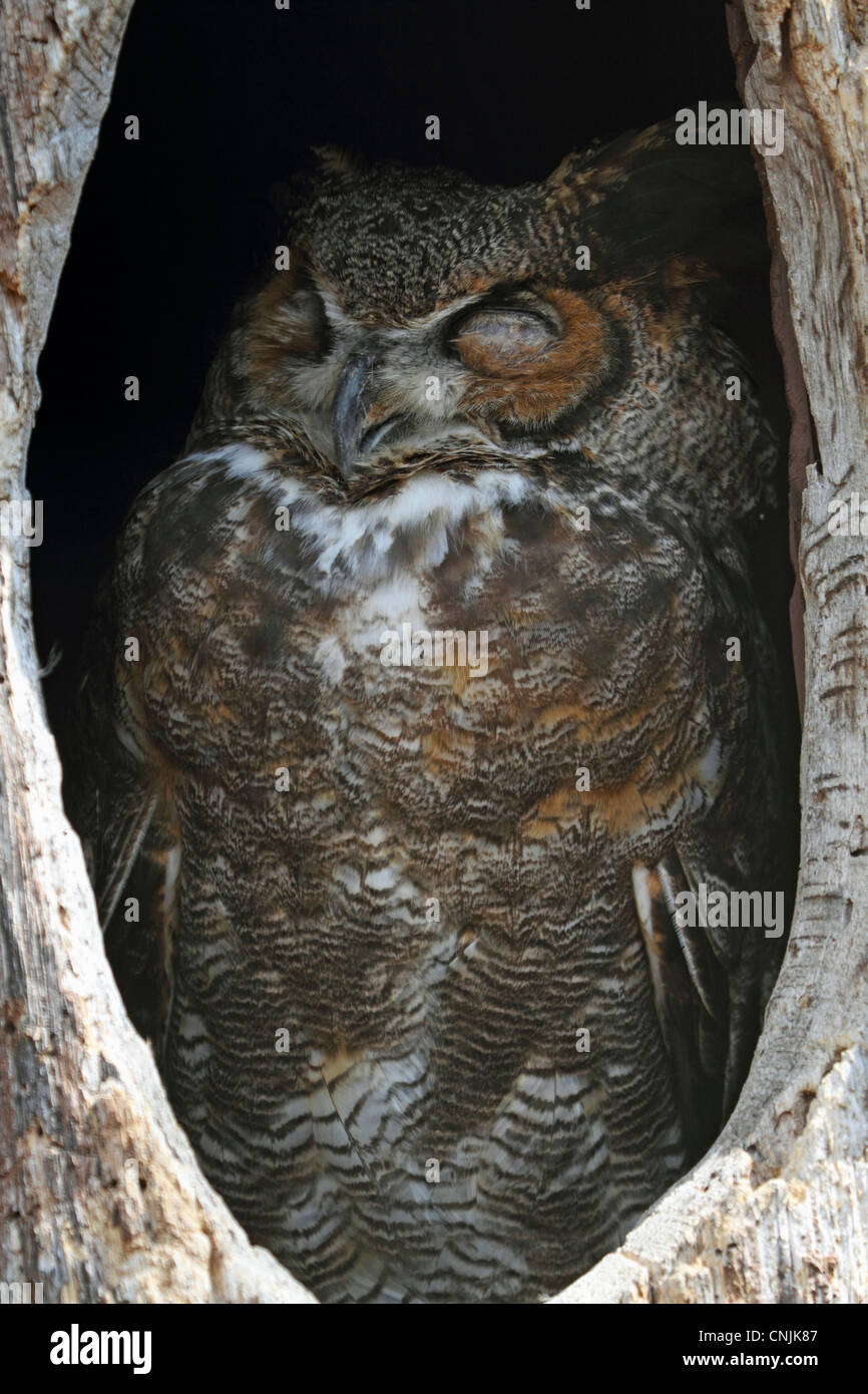 A Great Horned Owl, Bubo virginianus, sleeping in its tree hollow. Turtleback Zoo, West Orange, New Jersey, USA Stock Photo
