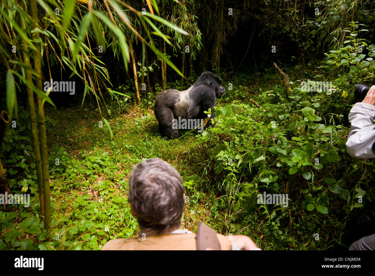 Africa, Rwanda, Agashiya, silverback leader of the Agashiya Group at Volcanoes NP in the Virungas; observed by gorilla - Stock Image
