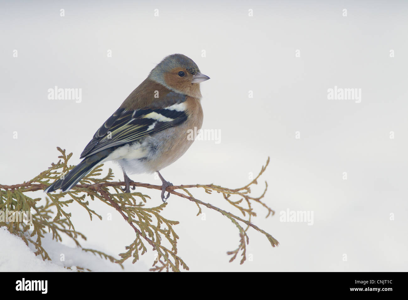 Chaffinch (Fringilla coelebs) adult male, perched on conifer in snow covered garden, Chirnside, Berwickshire, Scotland, - Stock Image