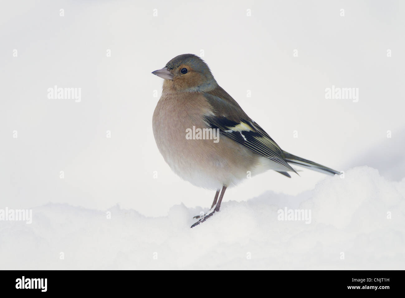 Chaffinch (Fringilla coelebs) adult male, standing in snow covered garden, Chirnside, Berwickshire, Scotland, december - Stock Image