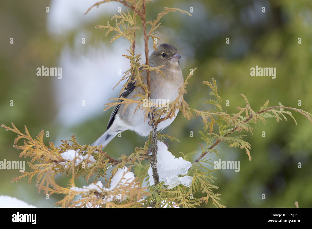 Chaffinch Fringilla coelebs adult female perched on conifer in snow covered garden Chirnside Berwickshire Scotland - Stock Image