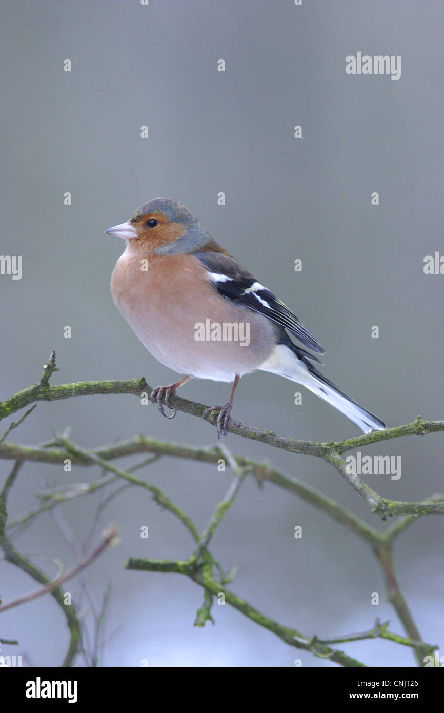 Chaffinch (Fringilla coelebs) adult male, perched on twig in snow, Yorkshire, England, december - Stock Image