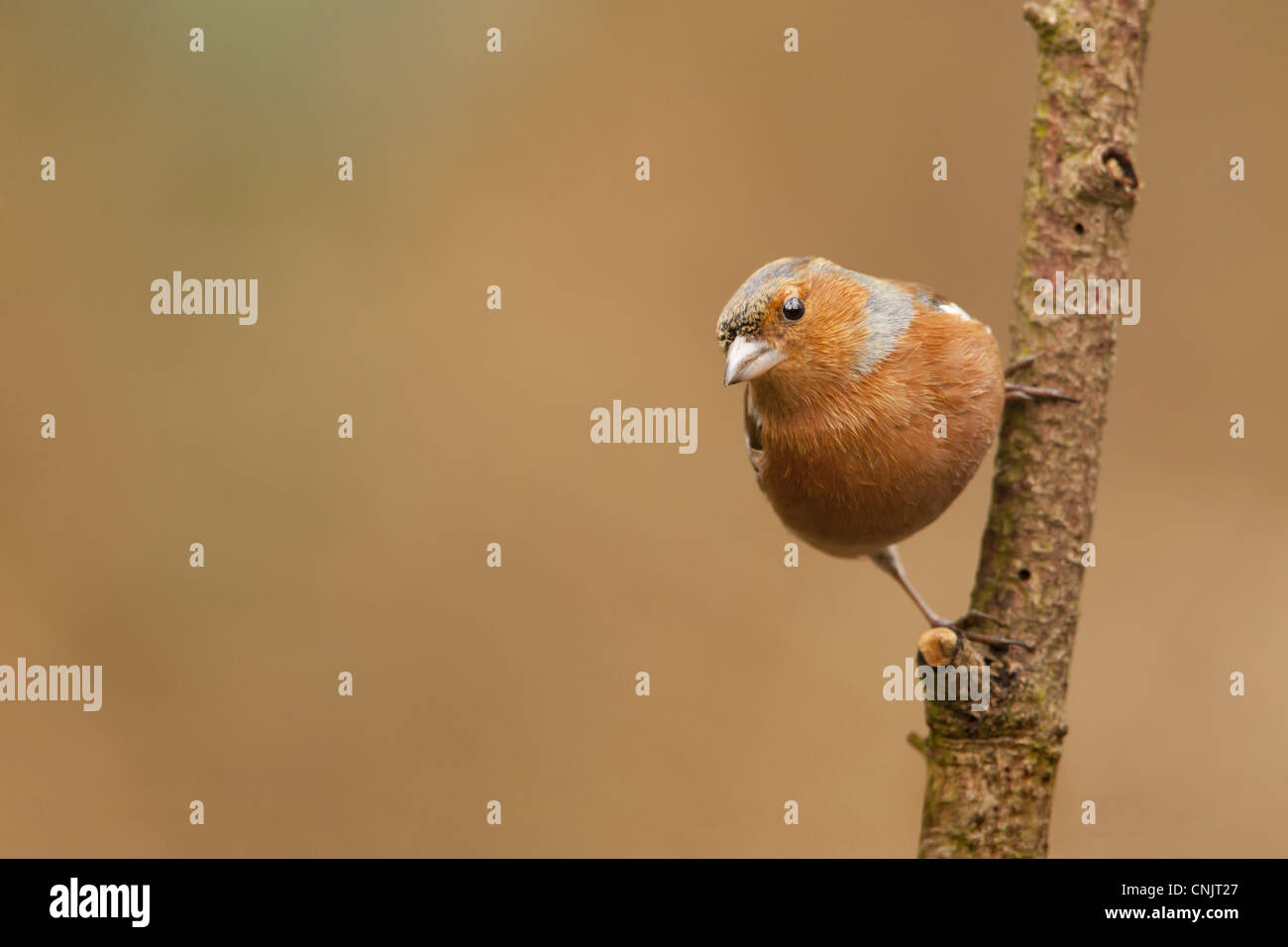 Chaffinch (Fringilla coelebs) adult male, perched on branch, Norfolk, England, february - Stock Image
