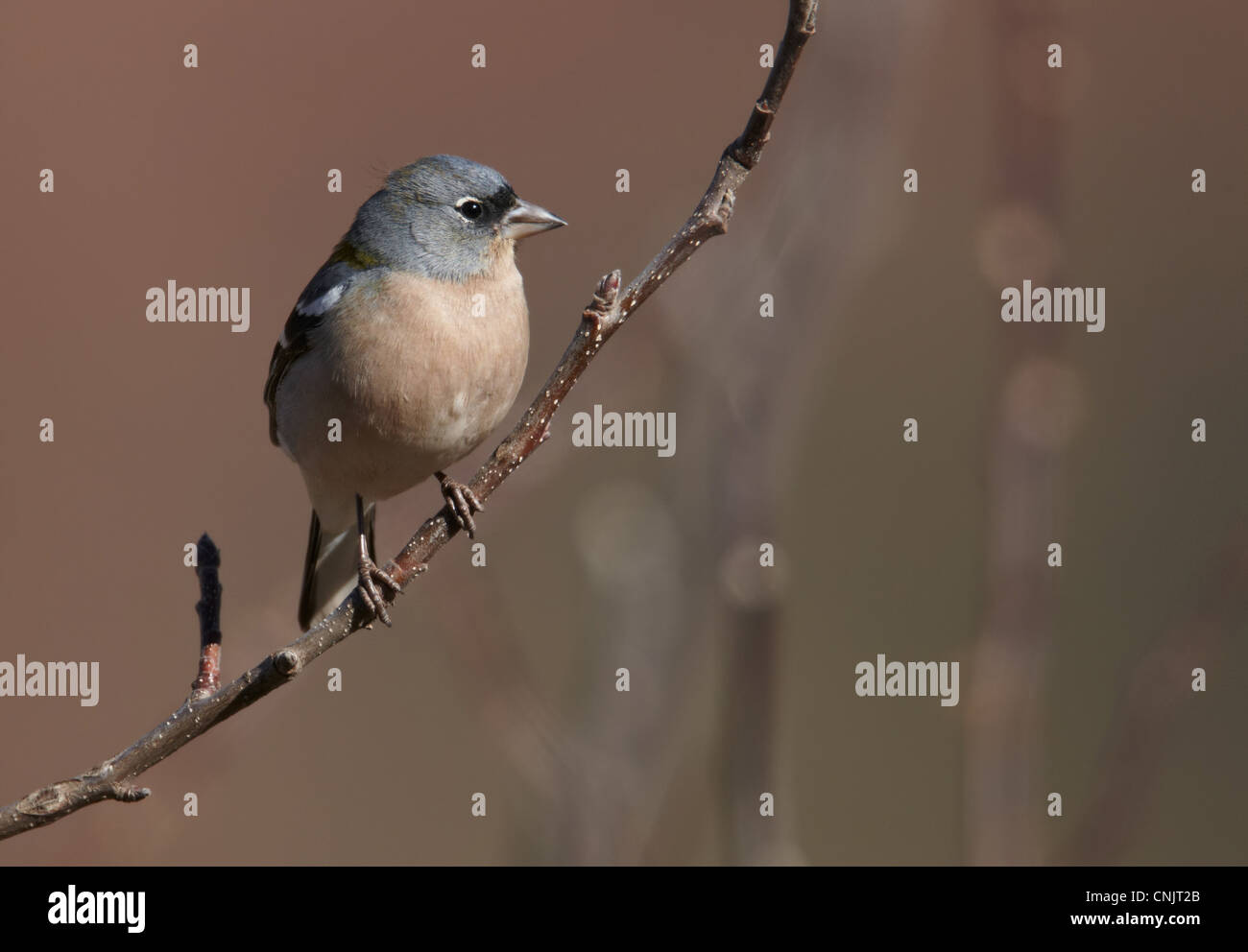 Chaffinch (Fringilla coelebs africana) North African subspecies, adult male, perched on twig, Morocco, february - Stock Image