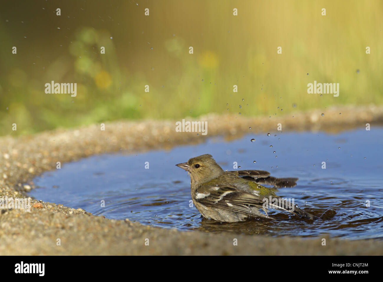 Chaffinch (Fringilla coelebs) adult female, bathing in pool, Spain, may - Stock Image