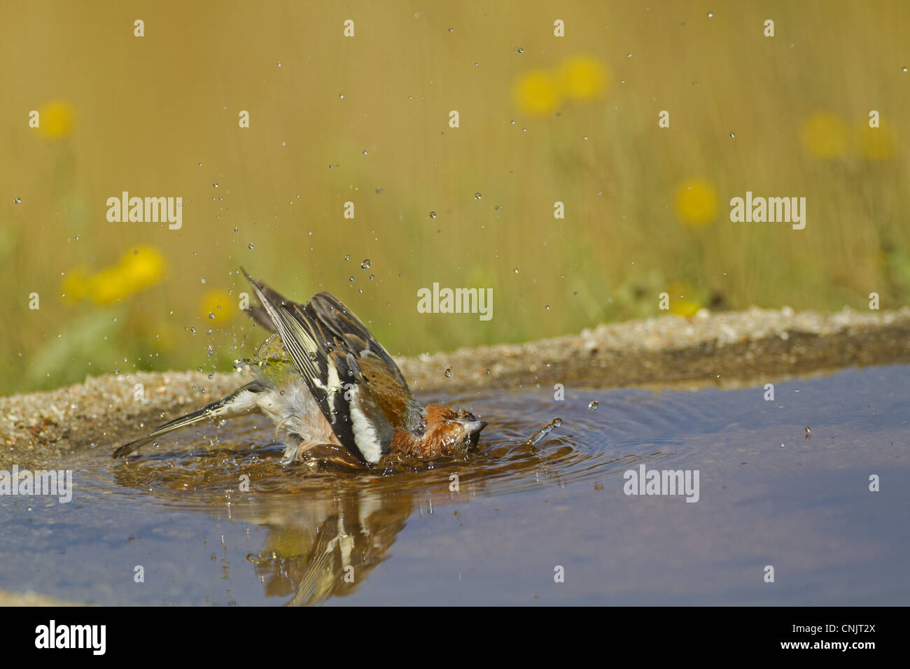 Chaffinch (Fringilla coelebs) adult male, bathing in pool, Spain, may - Stock Image