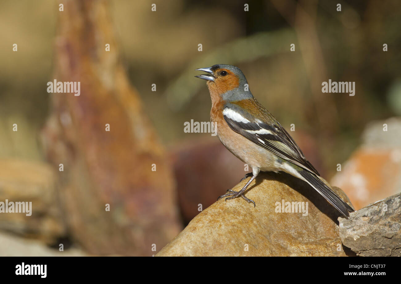 Chaffinch (Fringilla coelebs) adult male, singing, standing on rock, Spain, june - Stock Image