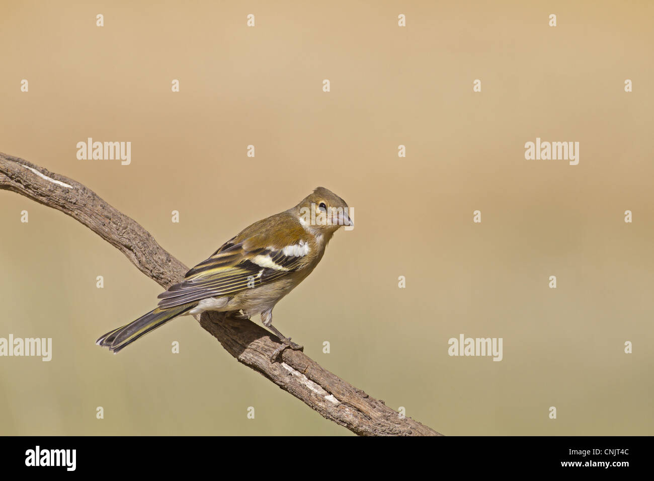 Chaffinch (Fringilla coelebs) adult female, perched on twig, Northern Spain, july - Stock Image