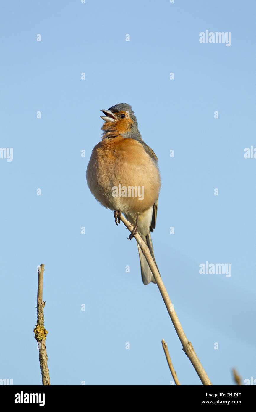 Chaffinch (Fringilla coelebs) adult male, singing, perched in twig, Minsmere RSPB Reserve, Suffolk, England, june - Stock Image