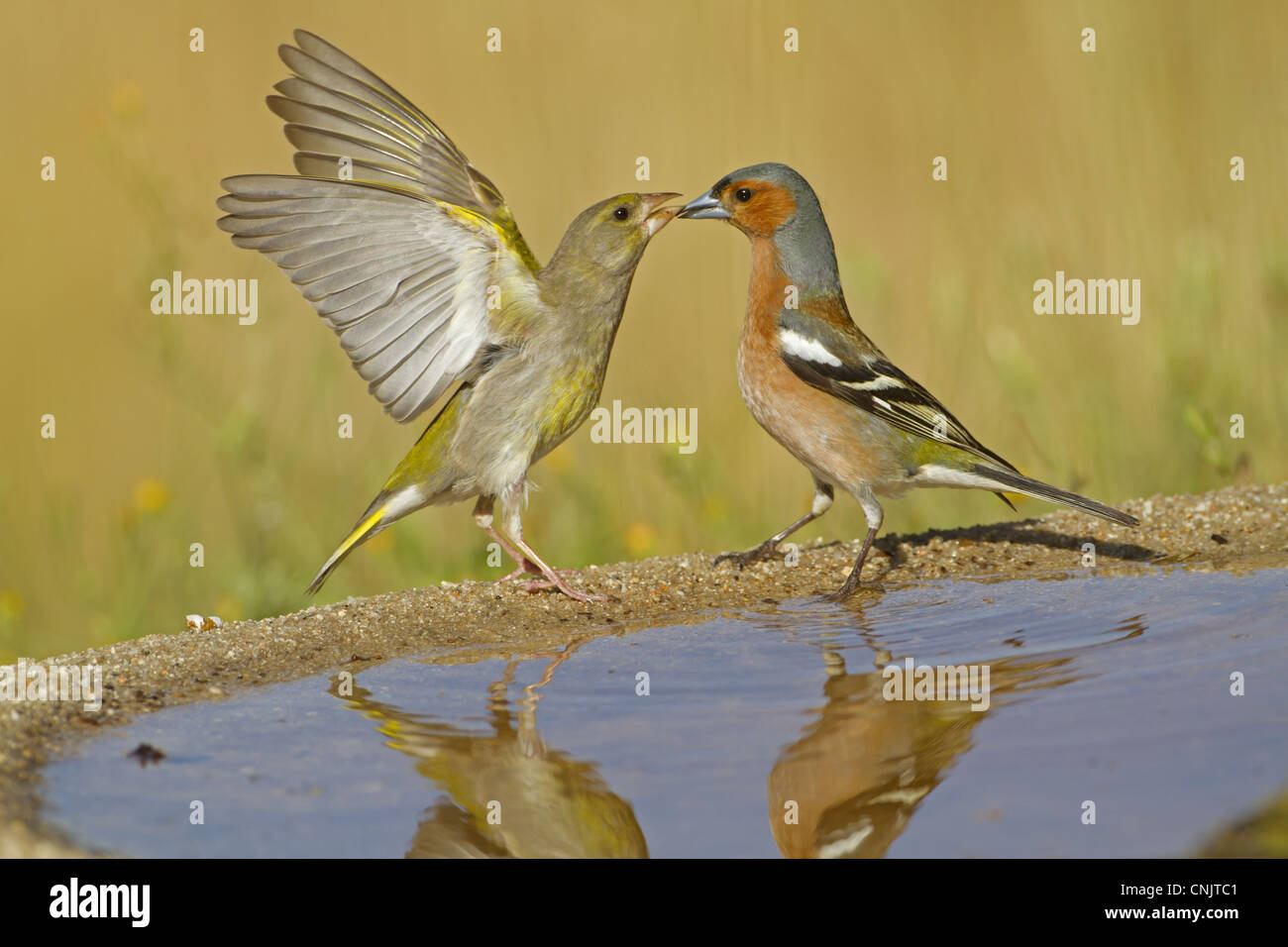European Greenfinch (Carduelis chloris) and Chaffinch (Fringilla coelebs) adults, disputing at drinking pool, Spain, - Stock Image