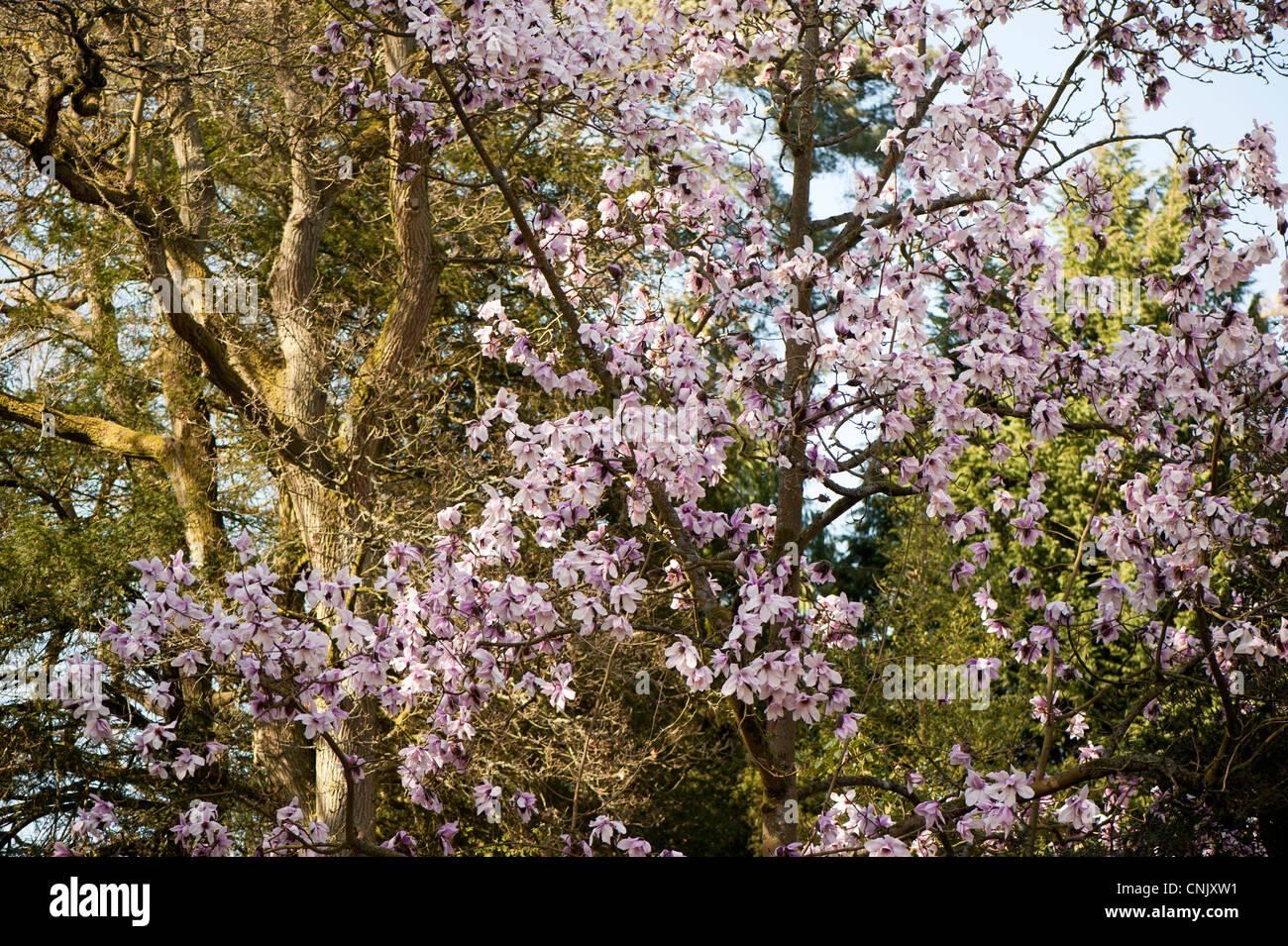 Magnolia campbellii, Campbell's Magnolia in bloom Stock Photo