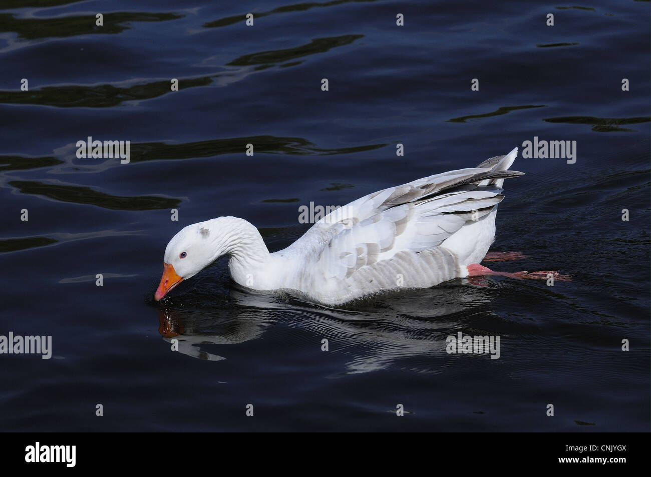 Domestic Goose, feral adult, swimming on river, River Thames, Oxfordshire, England, april - Stock Image