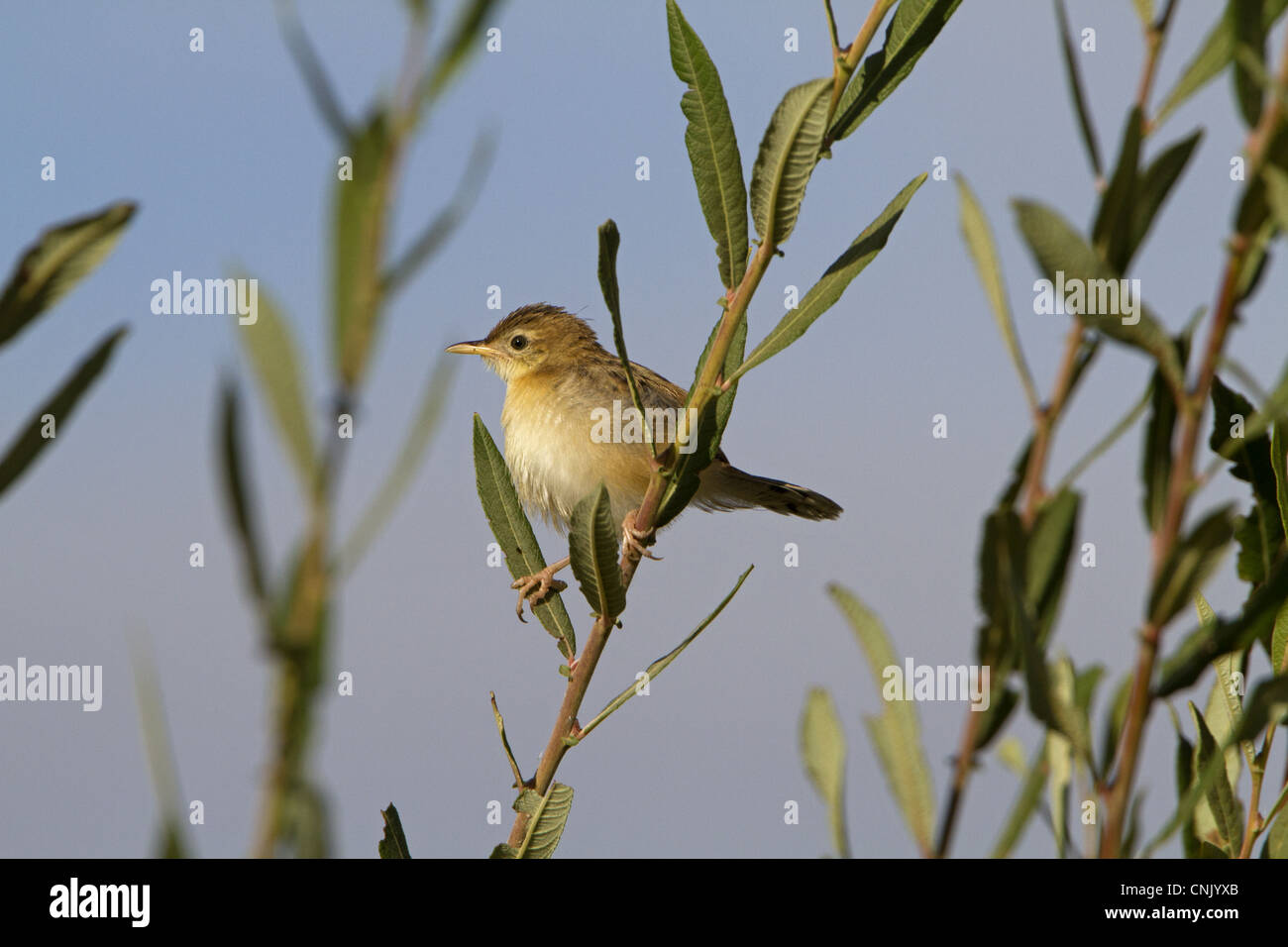 Fan-tailed Warbler (Cisticola juncidis) adult, perched on stem, Extremadura, Spain, september - Stock Image