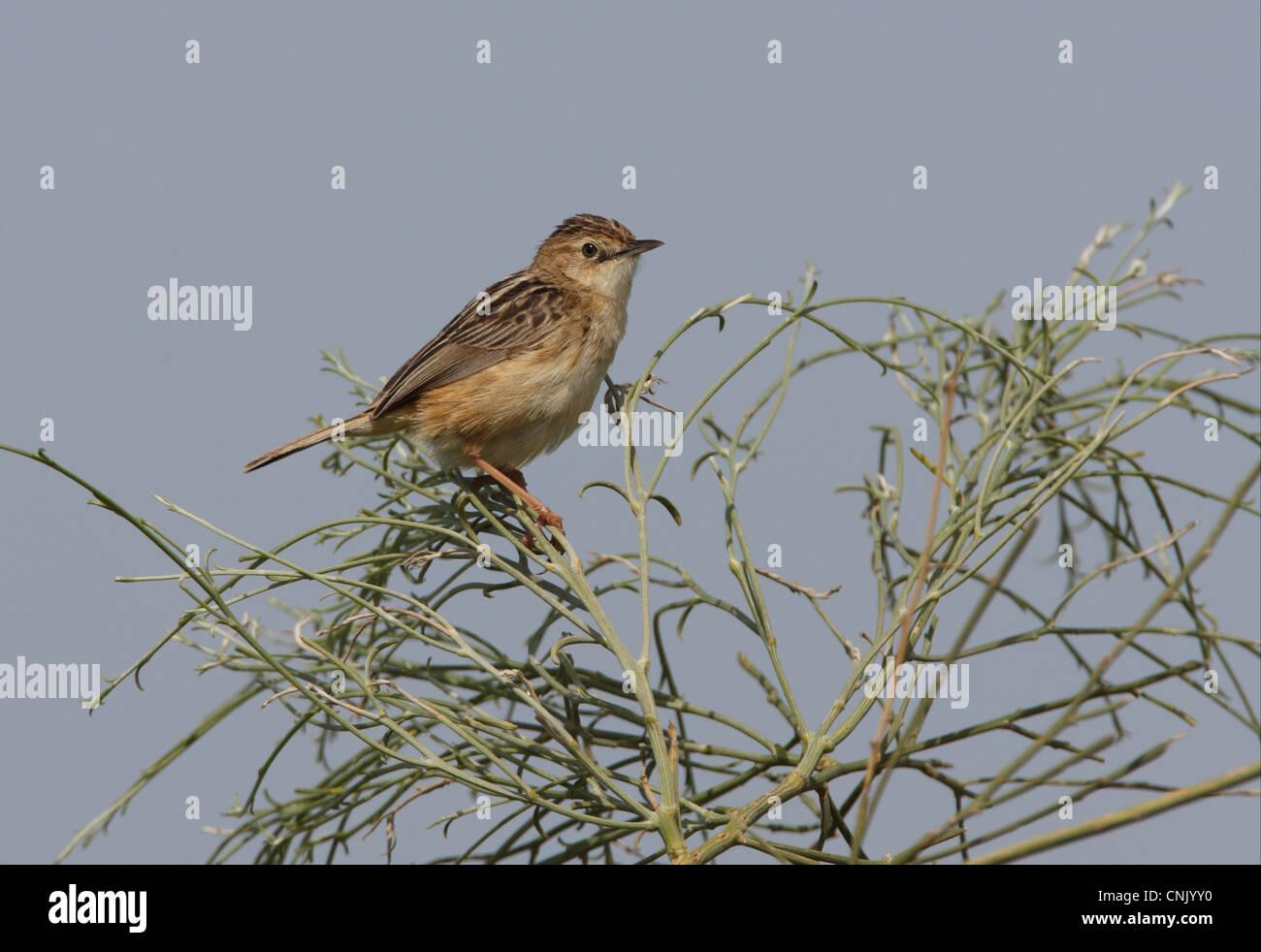 Fan-tailed Warbler (Cisticola juncidis cisticola) adult, perched at top of bush, Ria Formosa N.P., Algarve, Portugal, - Stock Image