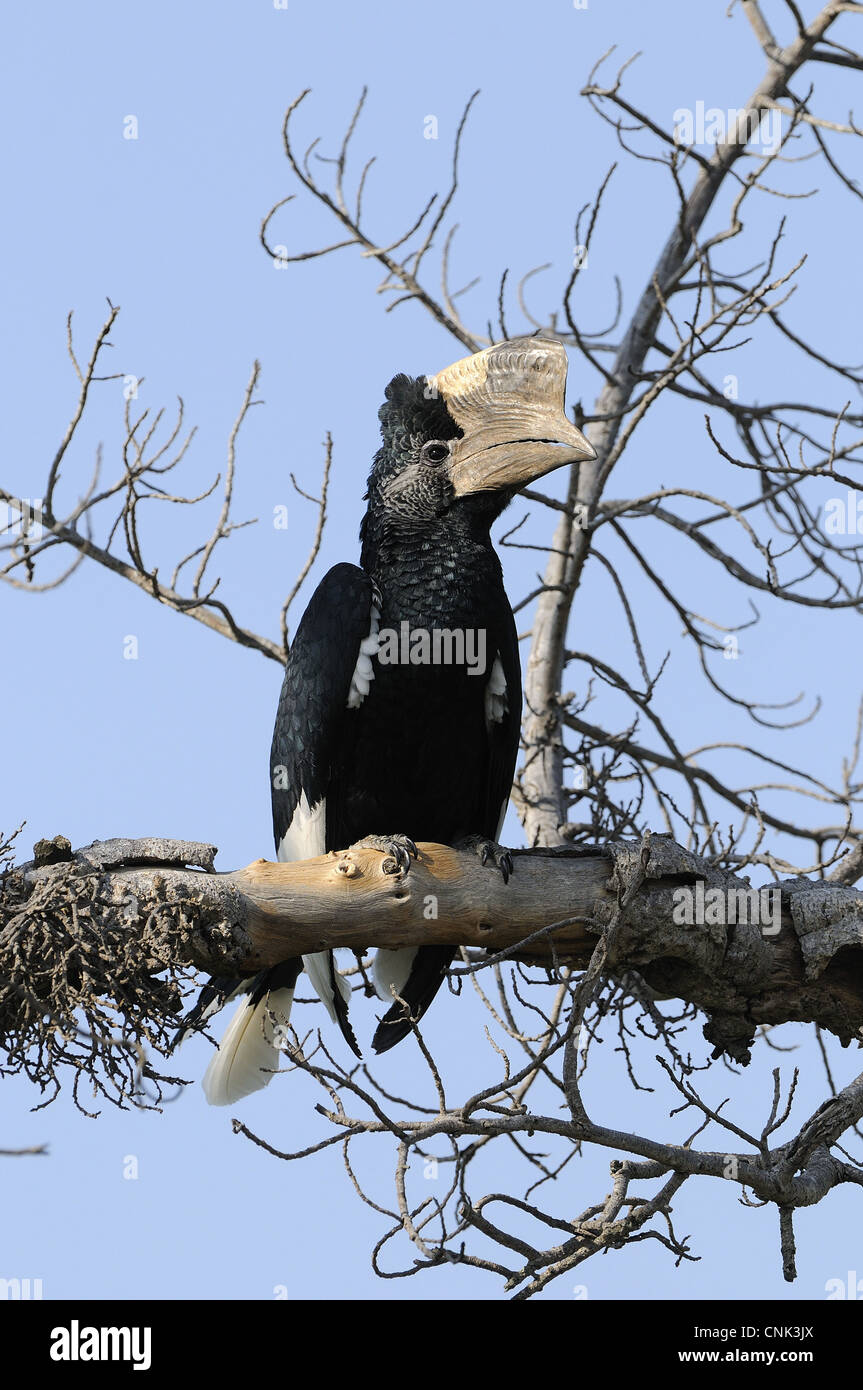 Black-and-white-casqued Hornbill (Bycanistes subcylindricus) adult male, perched on branch, Masai Mara, Kenya Stock Photo