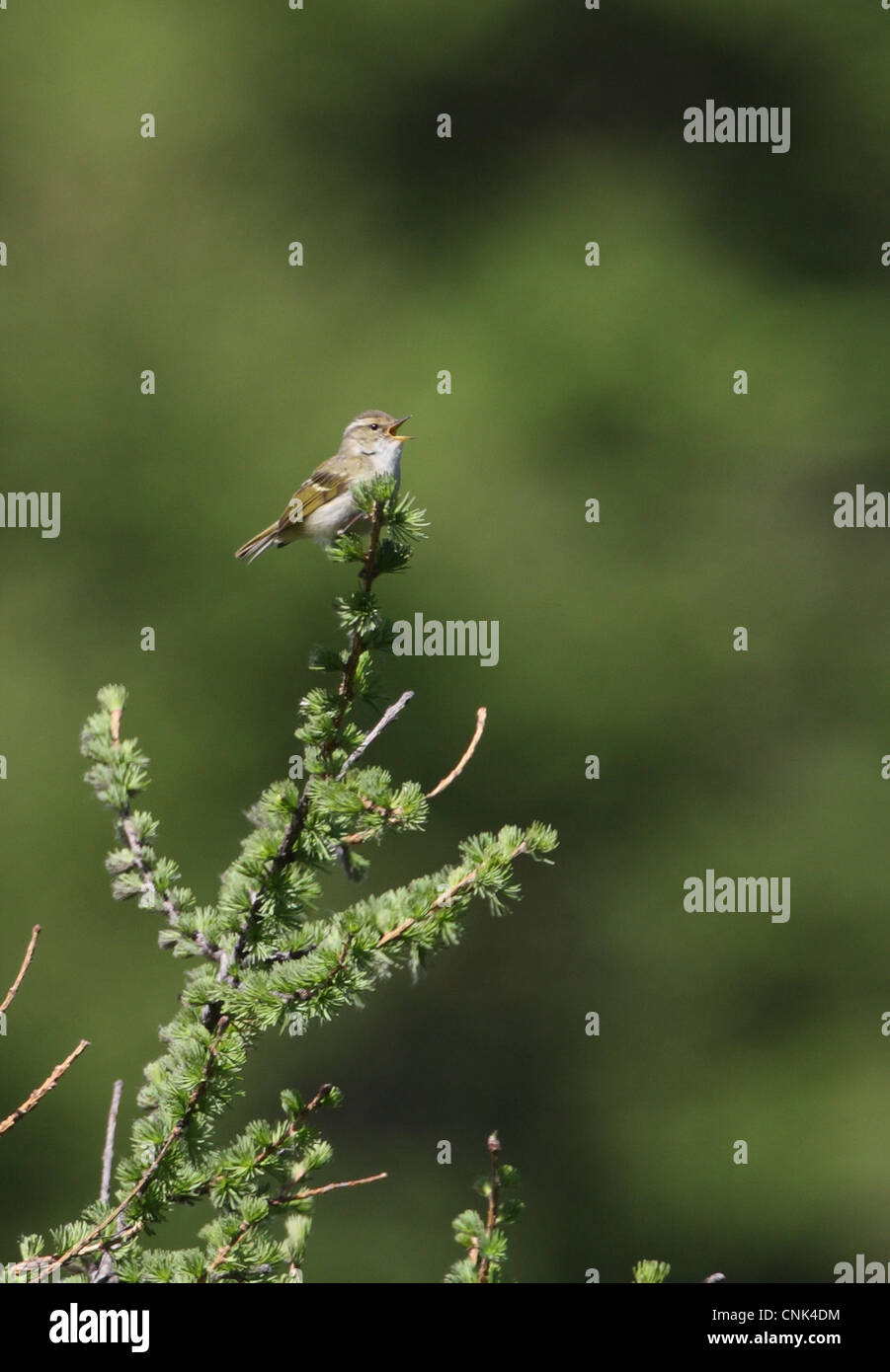 Chinese Leaf-warbler (Phylloscopus yunnanensis) adult male, singing, perched at top of tree, Old Peak, Hebei, China, Stock Photo