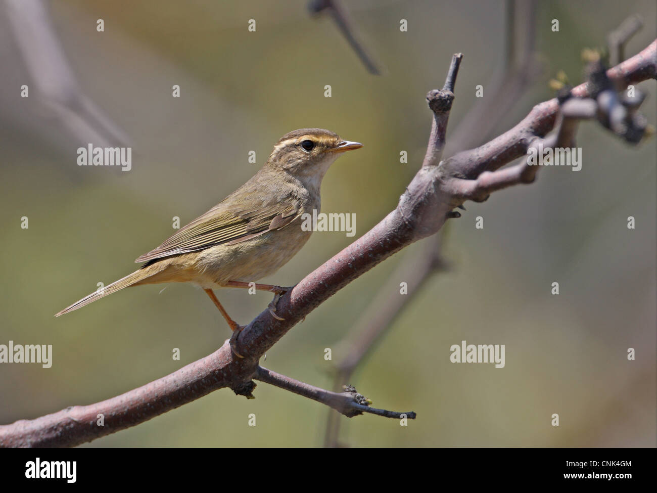 Radde's Warbler (Phylloscopus schwarzi) adult, perched on twig, Hebei, China, may Stock Photo
